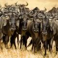 Wildebeest Masai mara Kenya