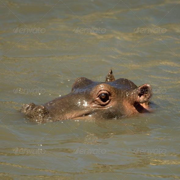 hippopotamus - Masai mara Kenya - Stock Photo - Images