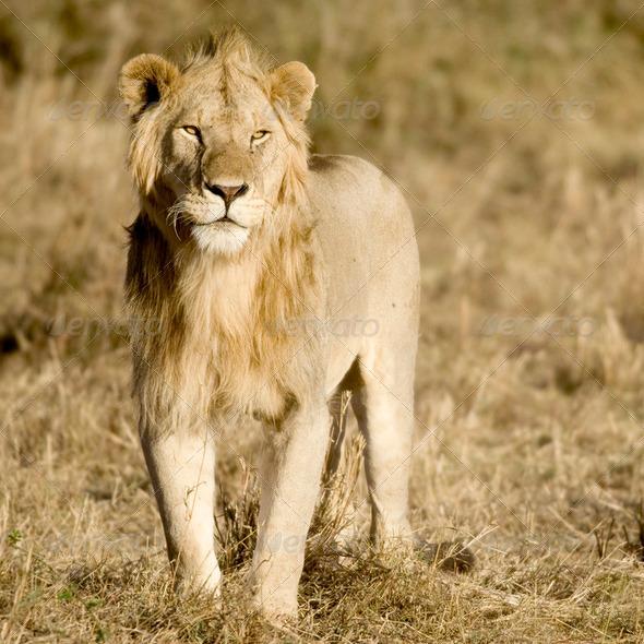 Lion Masai mara Kenya - Stock Photo - Images