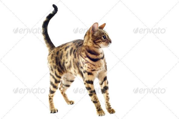 bengal kitten - Stock Photo - Images