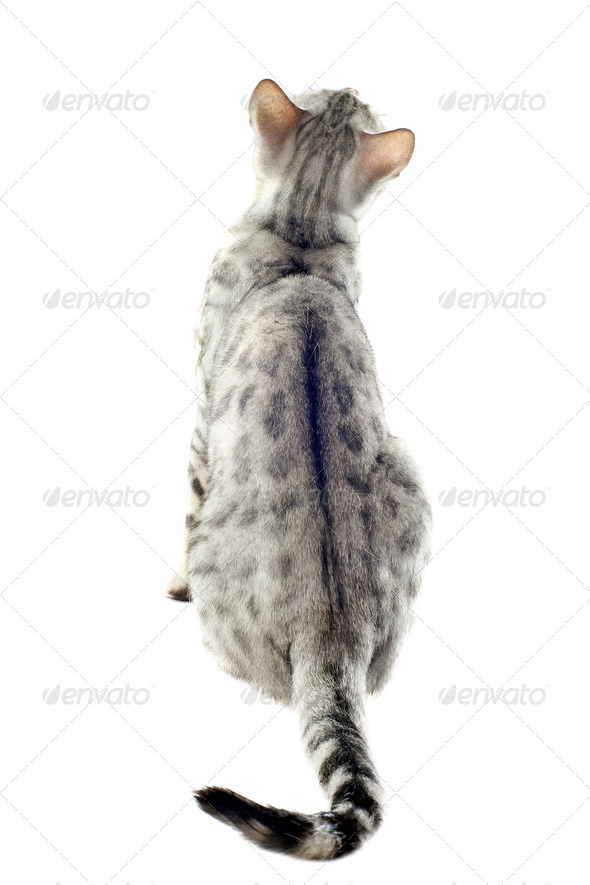 back of bengal cat - Stock Photo - Images