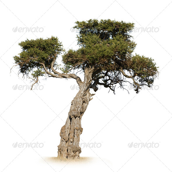African Tree - Stock Photo - Images