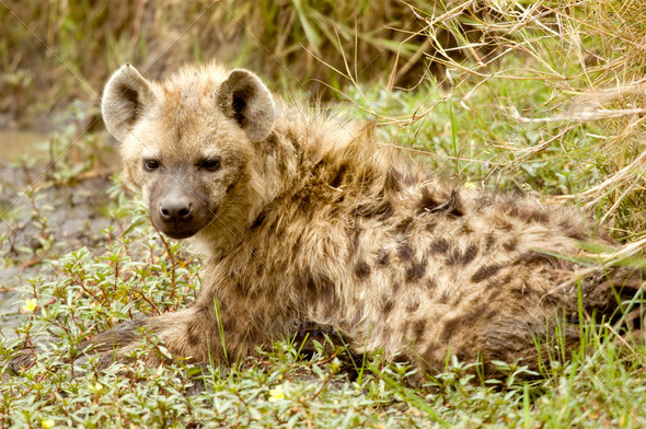 Hyena - Masai mara - Kenya - Stock Photo - Images