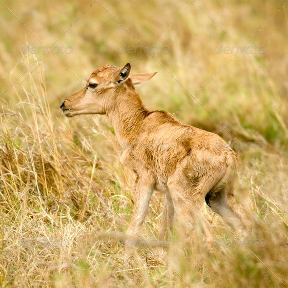 young Topi Masai mara Kenya - Stock Photo - Images