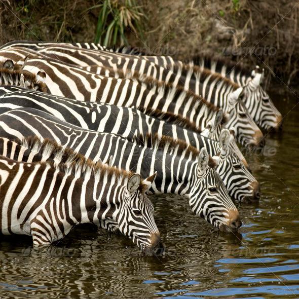 Herd of zebra at Masai mara Kenya - Stock Photo - Images