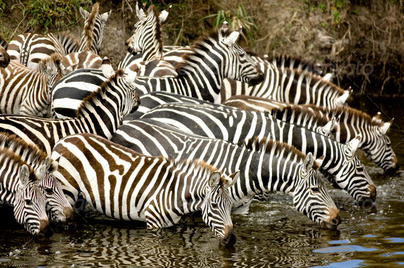 Herd of zebra at Masai mara Kenya - Stock Photo - Images
