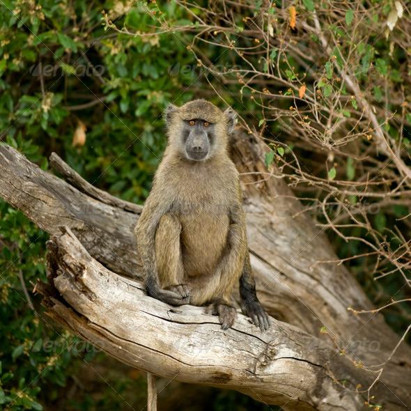 baboon Masai mara Kenya - Stock Photo - Images