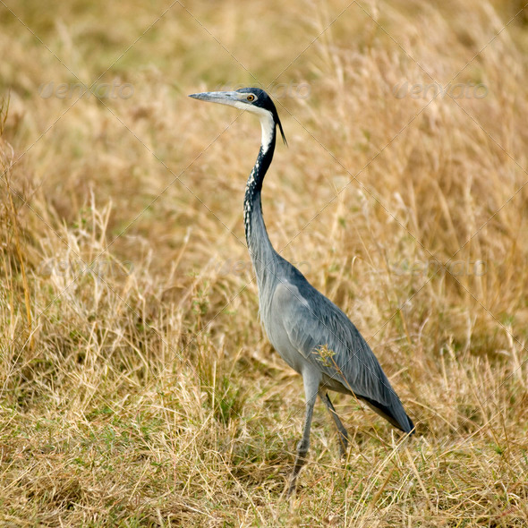 Heron Masai mara Kenya - Stock Photo - Images