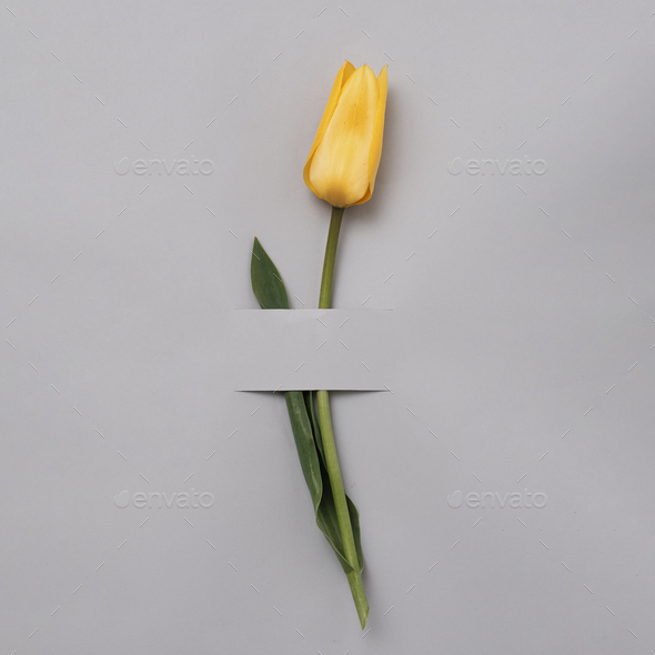Yellow graceful tulip on a grey background - Stock Photo - Images