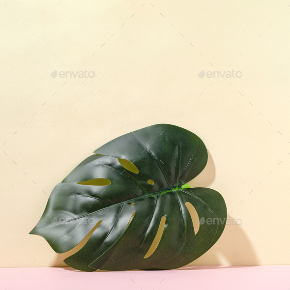One tropical monstera leaf on bright background in sunbeam and copy space. - Stock Photo - Images