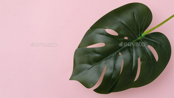 Large fresh leaf of tropical monstera or home plant on pink background with copy space. - Stock Photo - Images
