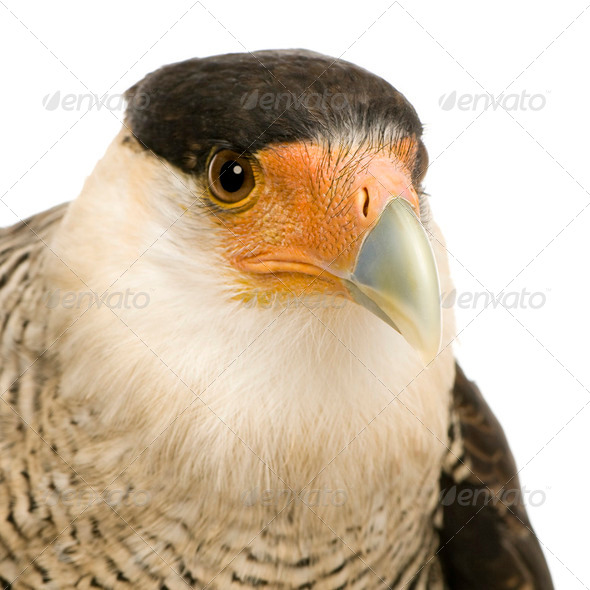 Southern Caracara (3 years) - Polyborus plancus - Stock Photo - Images
