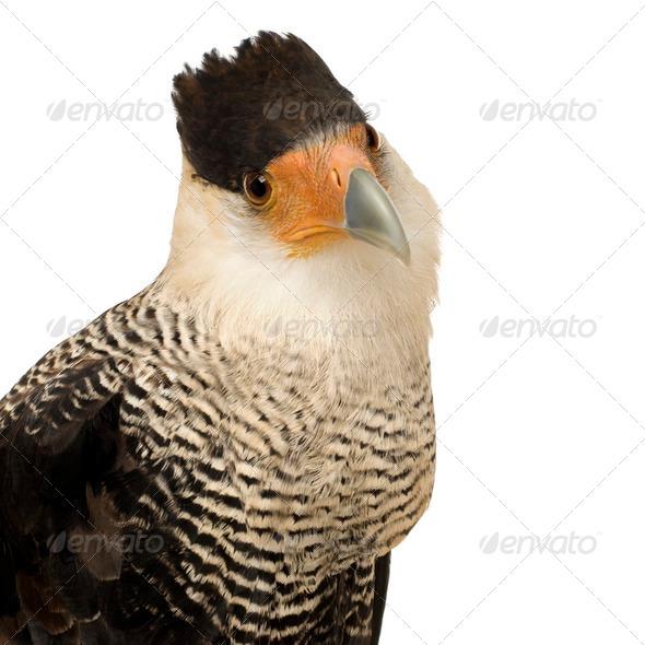 Southern Caracara (3 years) - Polyborus plancus - Stock Photo - Images