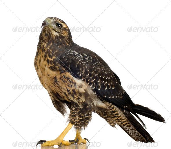 Young Black-chested Buzzard-eagle () - Geranoaetus melanoleucus - Stock Photo - Images