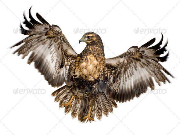 Young Black-chested Buzzard-eagle () - Geranoaetus melanoleucus - Stock Photo - Images