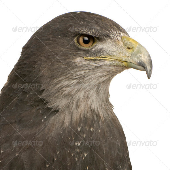 Black-chested Buzzard-eagle () - Geranoaetus melanoleucus - Stock Photo - Images
