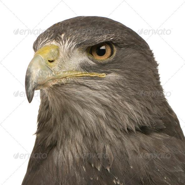 Black-chested Buzzard-eagle () - Geranoaetus melanoleucus - Stock Photo - Images