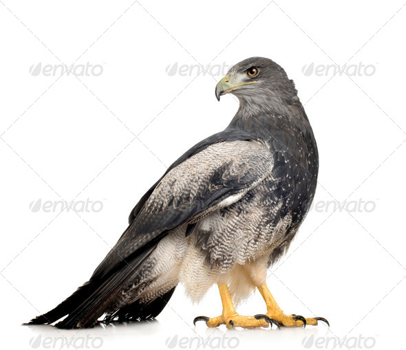 Black-chested Buzzard-eagle - Geranoaetus melanoleucus - Stock Photo - Images