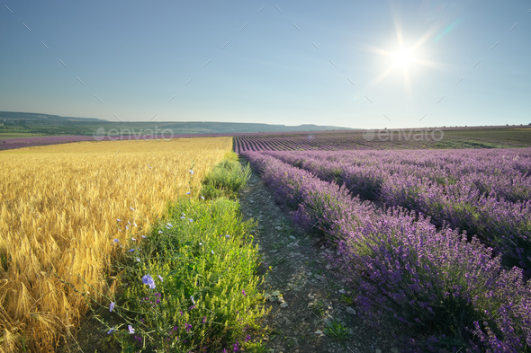 Meadow of lavender and wheat at day - Stock Photo - Images