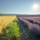 Meadow of lavender and wheat at day - PhotoDune Item for Sale