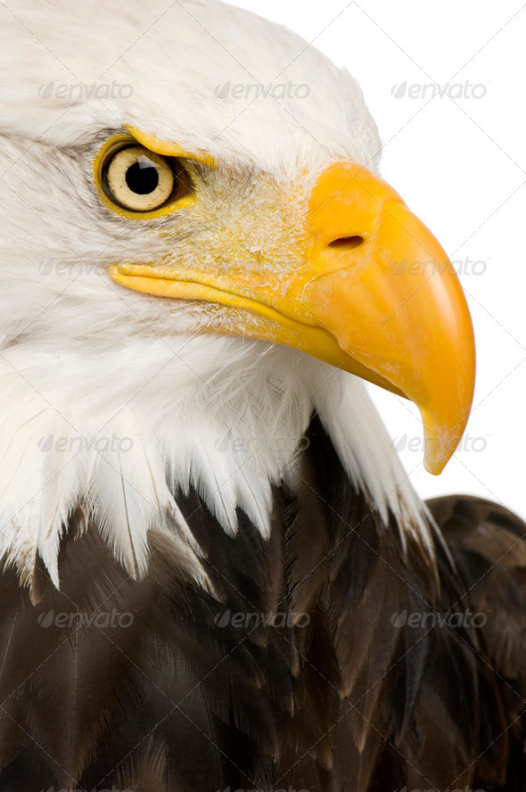 Bald Eagle (22 years) - Haliaeetus leucocephalus - Stock Photo - Images