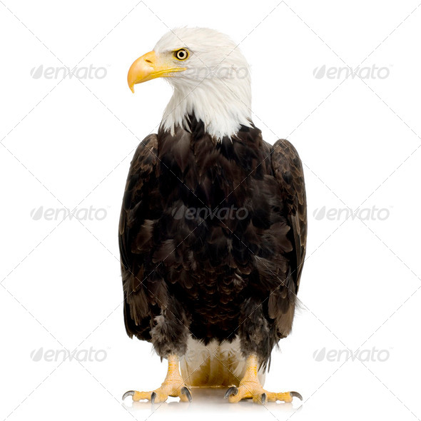 Bald Eagle (22 years) - Haliaeetus leucocephalus - Stock Photo - Images