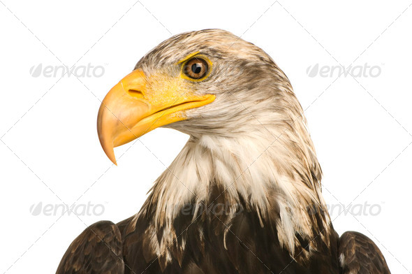 Young Bald Eagle (5 years) - Haliaeetus leucocephalus - Stock Photo - Images