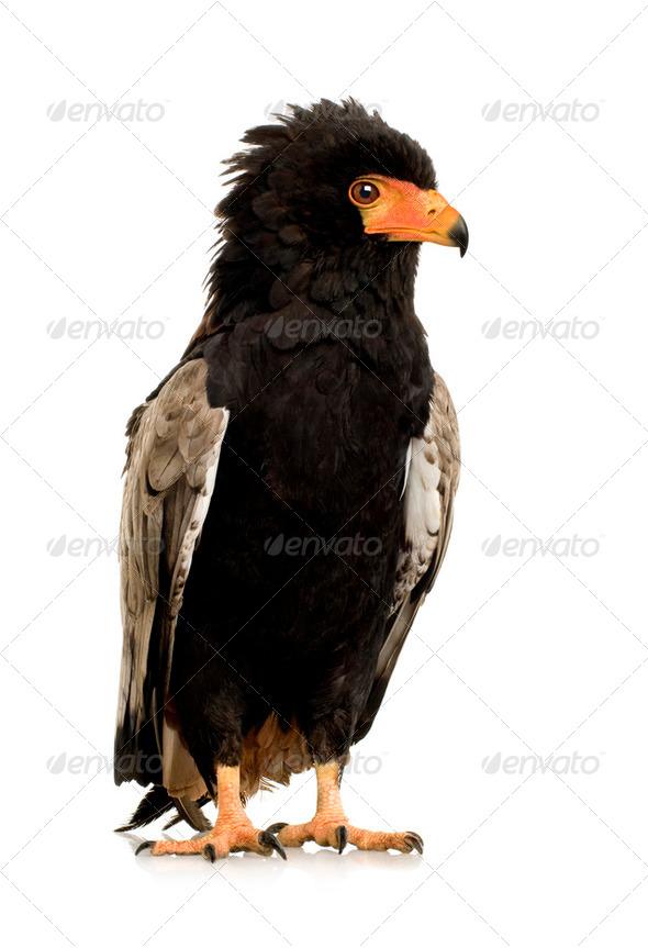 Bateleur (10 years) - Terathopius ecaudatus - Stock Photo - Images