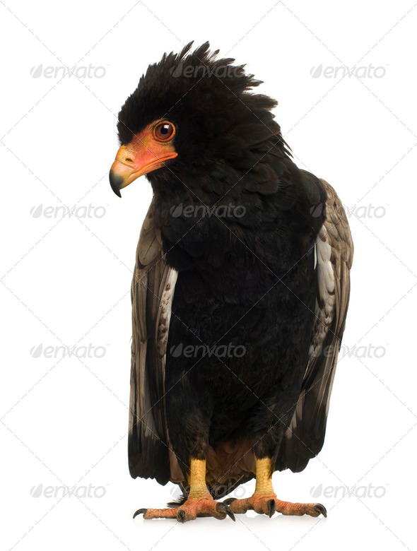 Bateleur (10 years) - Terathopius ecaudatus - Stock Photo - Images