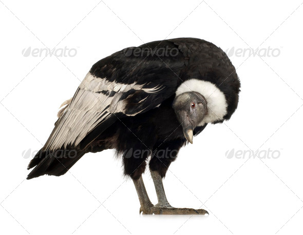 Andean Condor - Vultur gryphus (15 years) - Stock Photo - Images