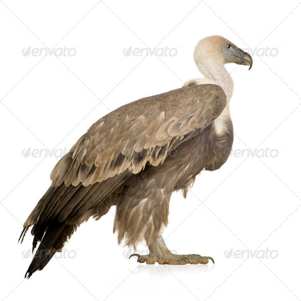 Griffon Vulture - Gyps fulvus - Stock Photo - Images