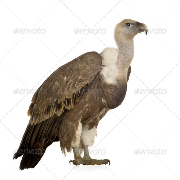 Griffon Vulture - Gyps fulvus - Stock Photo - Images