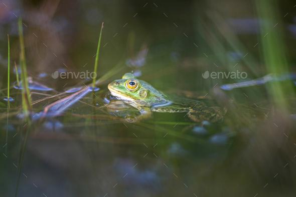 Lake frog, Pelophylax lessonae - Stock Photo - Images