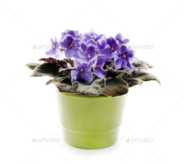 Violet in a pot - Stock Photo - Images