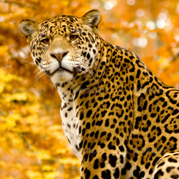 Jaguar - Panthera onca - Stock Photo - Images