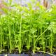 Celery seedlings - PhotoDune Item for Sale