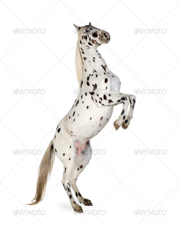 Appaloosa horse - Stock Photo - Images