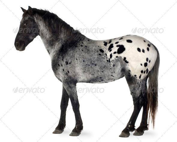 Appaloosa horse - Stock Photo - Images
