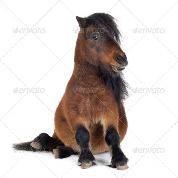 Shetland pony - Stock Photo - Images
