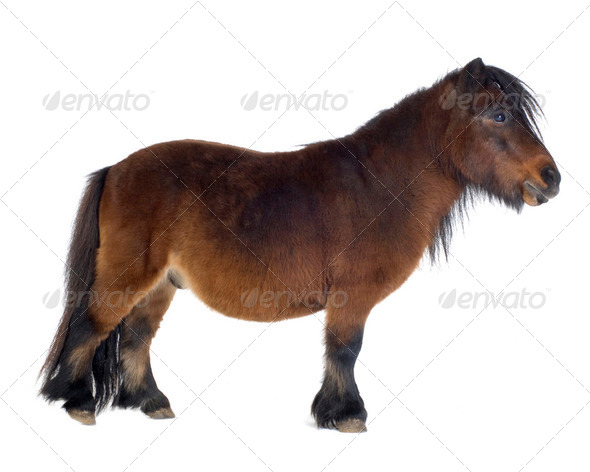 Shetland pony - Stock Photo - Images