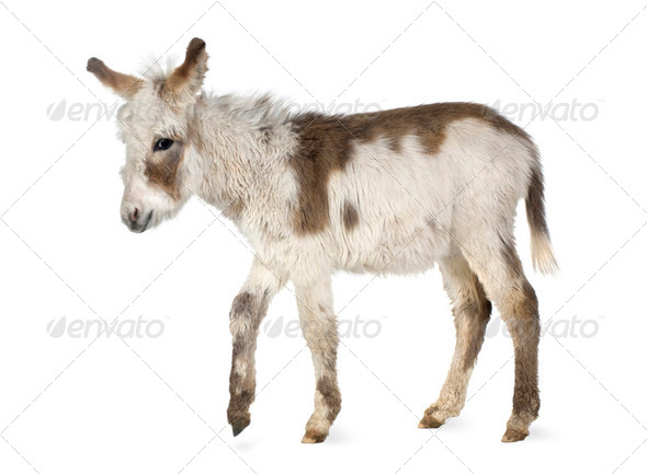 Young donkey - Stock Photo - Images
