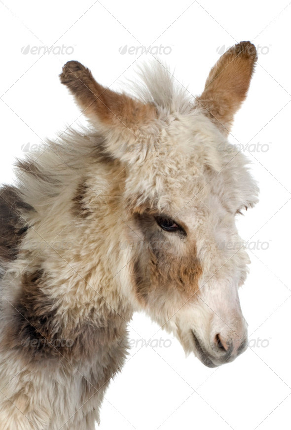 Young donkey - Stock Photo - Images
