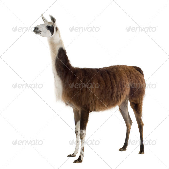 Lama - Lama glama - Stock Photo - Images