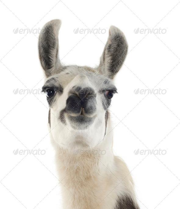 Lama - Lama glama - Stock Photo - Images