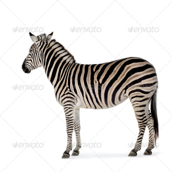 Zebra - Stock Photo - Images