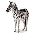 Zebra - PhotoDune Item for Sale
