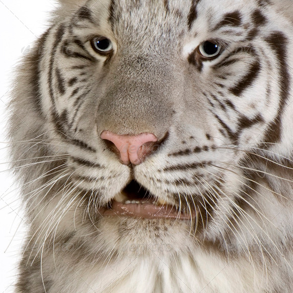 White Tiger - Stock Photo - Images