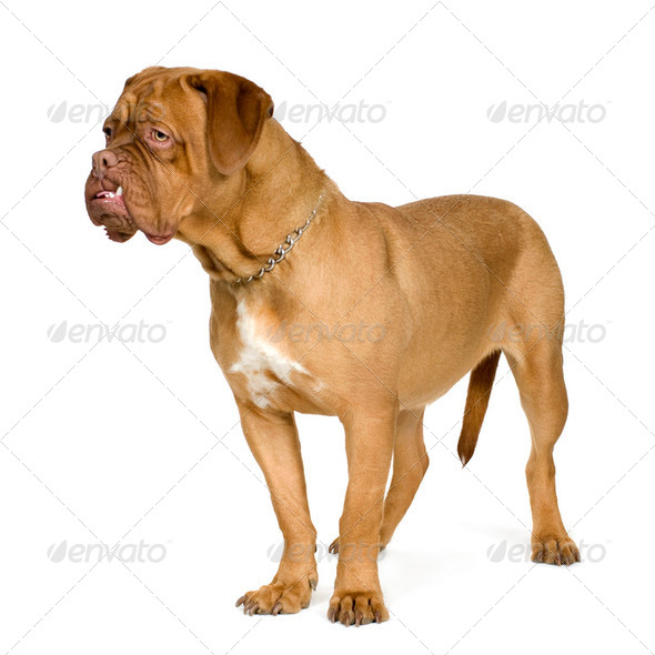 Dogue de Bordeaux (10 months) - Stock Photo - Images