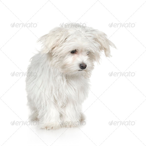 maltese dog (4 months) - Stock Photo - Images