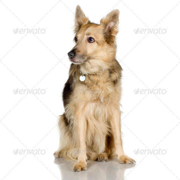 german shepherd / alsatian, police dog - Stock Photo - Images